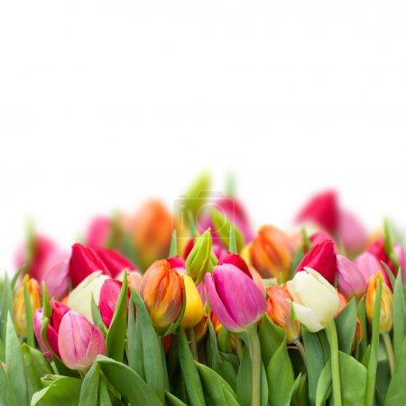 Growing fresh tulips