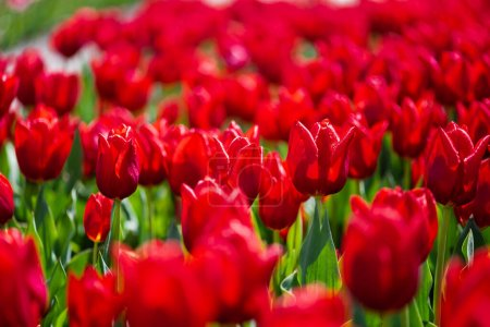 selective focus of colorful red tulips with green leaves