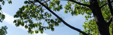 Bottom view of maple green leaves with blue sky at background, panoramic shot