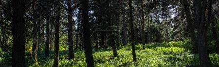 Trees and green grass with sunlight in forest, panoramic shot