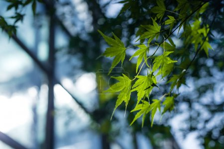 Close up view of green maple foliage with sunlight
