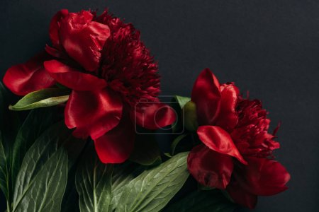 top view of red peonies with green leaves on black background