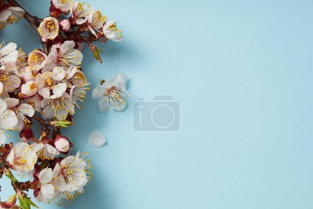 top view of tree branch with blossoming spring flowers on blue background