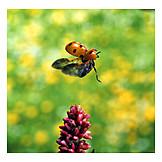 Flying, Lady beetle