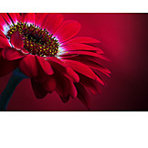 Flower, Gerbera