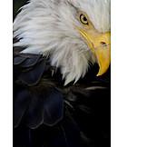 Bird, Bald eagle