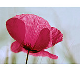 Flower, Poppy, Blossom
