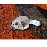Puffer fish, Blackspotted puffer