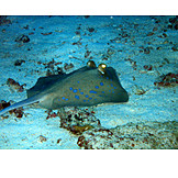 Ray, Blue spotted stingray