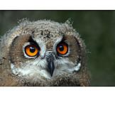 Eagle owl, Owl, Eagle, Owl