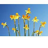 Daffodil, Daffodil blossom