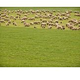 Meadow, Sheep, Sheep herd