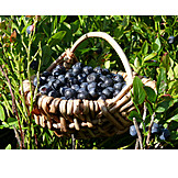 Berry, Harvest, Blueberry