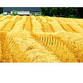 Grain harvest, Field stubble