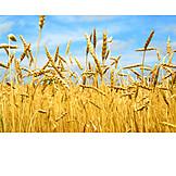 Grain, Grain, Corn field