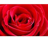 Rose, Rose Petals, Red Rose