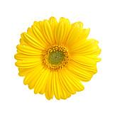 Flower, Blossom, Gerbera