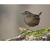 Mockingbird, Wren