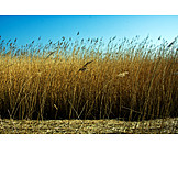 Grasses, Reed