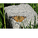 Butterfly, Painted lady butterfly