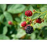 Blackberry, Blackberry bush
