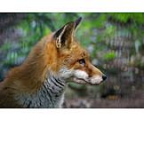 Fox, Red fox