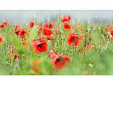 Poppy, Poppies, Poppy fields
