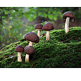 Mushroom, Stropharia rugosoannulata