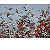 Swarm of birds, Thrush