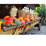 Squash, Harvest, Pumpkin harvest