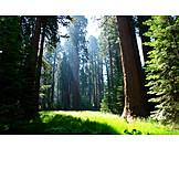 Forest, Glade, Sequoia