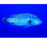 Underwater, Fish, Wrasse, Humphead wrasse
