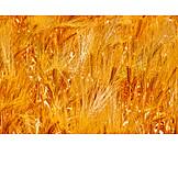Barley, Barley, Corn field