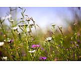 Flower meadow, Summer meadow, Meadow herbs