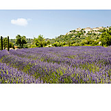 Provence, Lavender field, Gordes