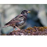 Mockingbird, Star