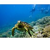 Diver, Turtle, Sea turtle