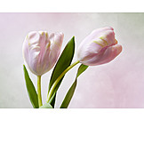 Tulip, Spring, Tulips Bloom