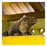 Lizard, Iguana family