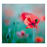 Poppies, Poppies, Poppy flower