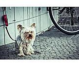 Dog, Terrier, Yorkshire terrier