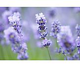 Lavender, Lavender blossom