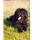 Dog, Briard