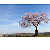 Spring, Almond Tree