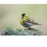Bird, Finch, Eurasian siskin, Siskin