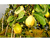 Fruit growing, Quince, Apple quince