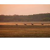 Dawn twilight, Deer