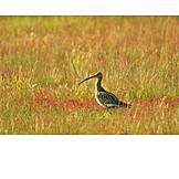 Bird, Curlew, Brachvogel