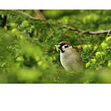 Sparrow, House sparrow