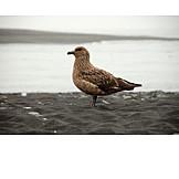 Consuming gull
